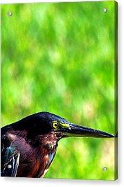 Little Green Heron 006 Acrylic Print by Chris Mercer