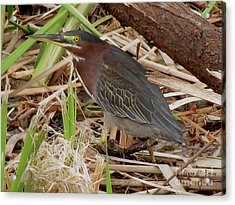 Acrylic Print featuring the photograph Little Green Heron by Donna Brown