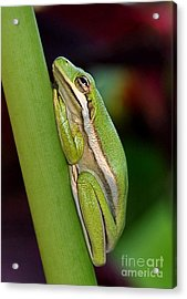 Acrylic Print featuring the photograph Little Green Tree Frog by Kathy Baccari