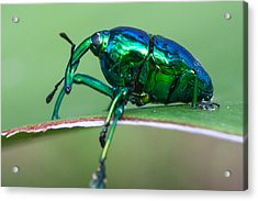 Little Green Weevil Acrylic Print by Craig Lapsley