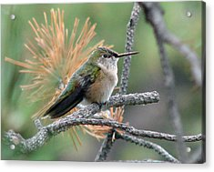 Little Hummer At Rest Acrylic Print