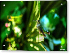 Little Humming Bird Acrylic Print by Ed Roberts