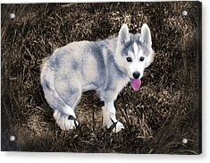 Little Huskie Pup Acrylic Print by Bill Cannon