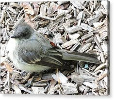 Little Junco Acrylic Print by Chrissey Dittus