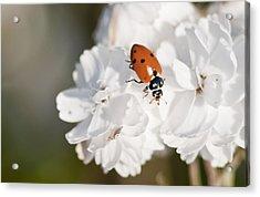 Little Ladybug On Baby's Breath Acrylic Print