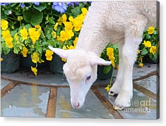 Little Lamb Acrylic Print by Kathleen Struckle