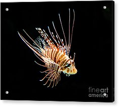Little Lionfish Acrylic Print by Jamie Pham