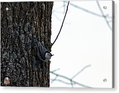 Little Nuthatch Acrylic Print by Rhonda Humphreys