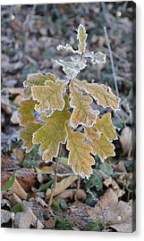 Acrylic Print featuring the photograph Little Oak by Felicia Tica
