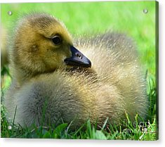 Little One Acrylic Print by Kathleen Struckle