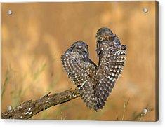 Little Owl Athene Noctua Couple Acrylic Print
