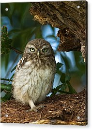 Little Owl Acrylic Print by Paul Scoullar