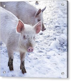 Little Piggies Acrylic Print