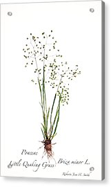 Little Quaking Grass Acrylic Print