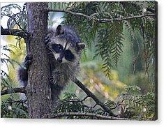 Little Raccoon Acrylic Print by Maria Angelica Maira