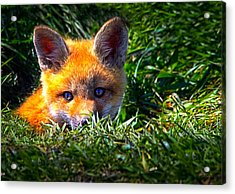 Little Red Fox Acrylic Print