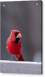 Little Red Acrylic Print