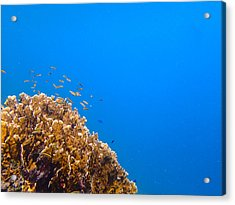 Little Reefers Acrylic Print