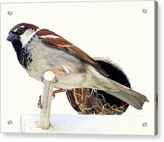 Little Sparrow Acrylic Print by Karen Wiles