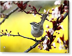 Acrylic Print featuring the photograph Little Sparrow by Trina  Ansel