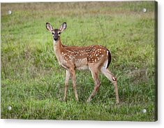 Little Spotted Fawn - White Tailed Deer Acrylic Print by Jai Johnson