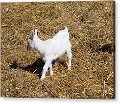 Little White Goat Acrylic Print by Carolyn Ricks