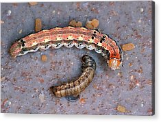 Live And Dead Budworms Acrylic Print