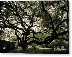 Live Oak At The Alamo, Texas Acrylic Print by Ron Sanford
