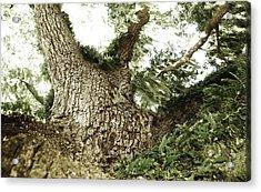 Live Oak Acrylic Print