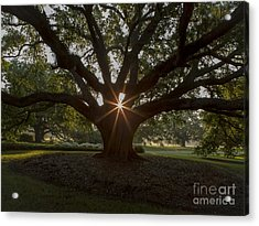Live Oak With Early Morning Light Acrylic Print by Kelly Morvant