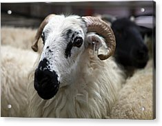 Livestock Auction Acrylic Print by Tom Norring
