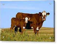 Livestock - Crossbred Cow And Calf Acrylic Print