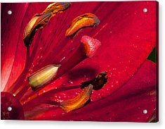 Living Inside A Lily Acrylic Print by Phyllis Denton