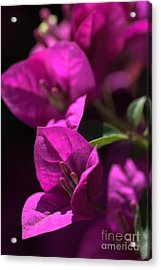 Living With Bougainvillea Acrylic Print by Joy Watson