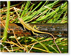 Acrylic Print featuring the photograph Lizard by Cyril Maza