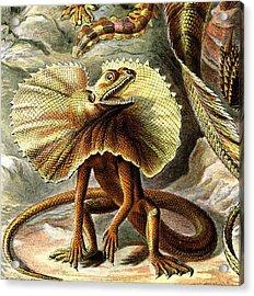 Lizard Detail IIi Acrylic Print by Unknown