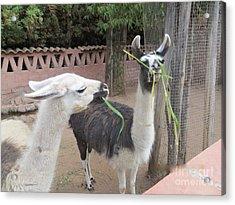 Llamas In Peru Acrylic Print