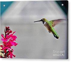 Lobelia And Hummingbird Acrylic Print by Judy Via-Wolff