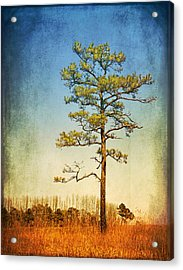 Loblolly Pine Along The Chesapeake Acrylic Print