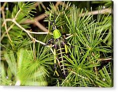 Locust In A Bush Acrylic Print