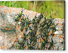 Locusts On A Rock Acrylic Print by Philippe Psaila