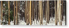 Lodgepole Pines And Snow Grand Teton Acrylic Print by Panoramic Images