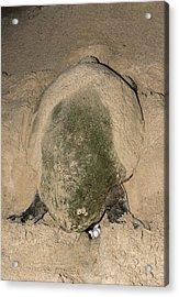 Loggerhead Turtle Nesting Acrylic Print