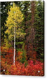 Lone Aspen In Fall Acrylic Print by Chad Dutson