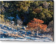 Lone Bald Cypress At Pedernales Falls State Park - Johnson City Texas Hill Country Acrylic Print by Silvio Ligutti