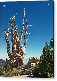 Acrylic Print featuring the photograph Lone Bristlecone by Alan Socolik