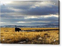 Lone Cow Against A Stormy Montana Sky. Acrylic Print by Dana Moyer