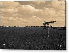 Lone Cypress II Acrylic Print
