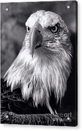 Acrylic Print featuring the photograph Lone Eagle by Adam Olsen