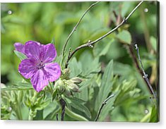 Lone Geranium In Yellowstone Acrylic Print by Bruce Gourley